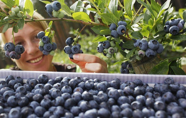 A woman is picking blueberries.