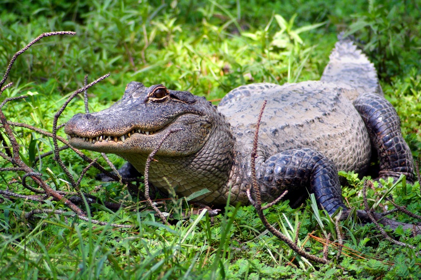 American alligator in grass