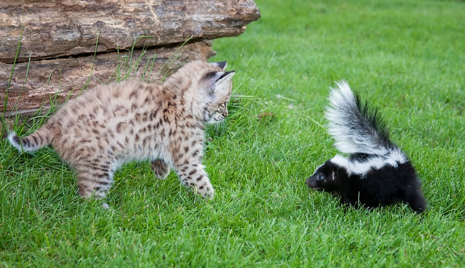 bobcat kitten and baby striped skunk lookng at each other