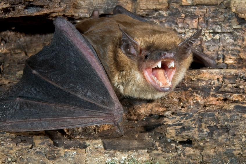 Big bat with opened mouth