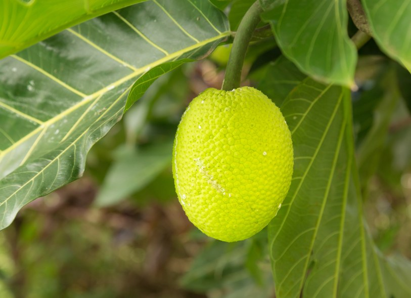 Breadfruit tree in Kauai, foods that taste bad