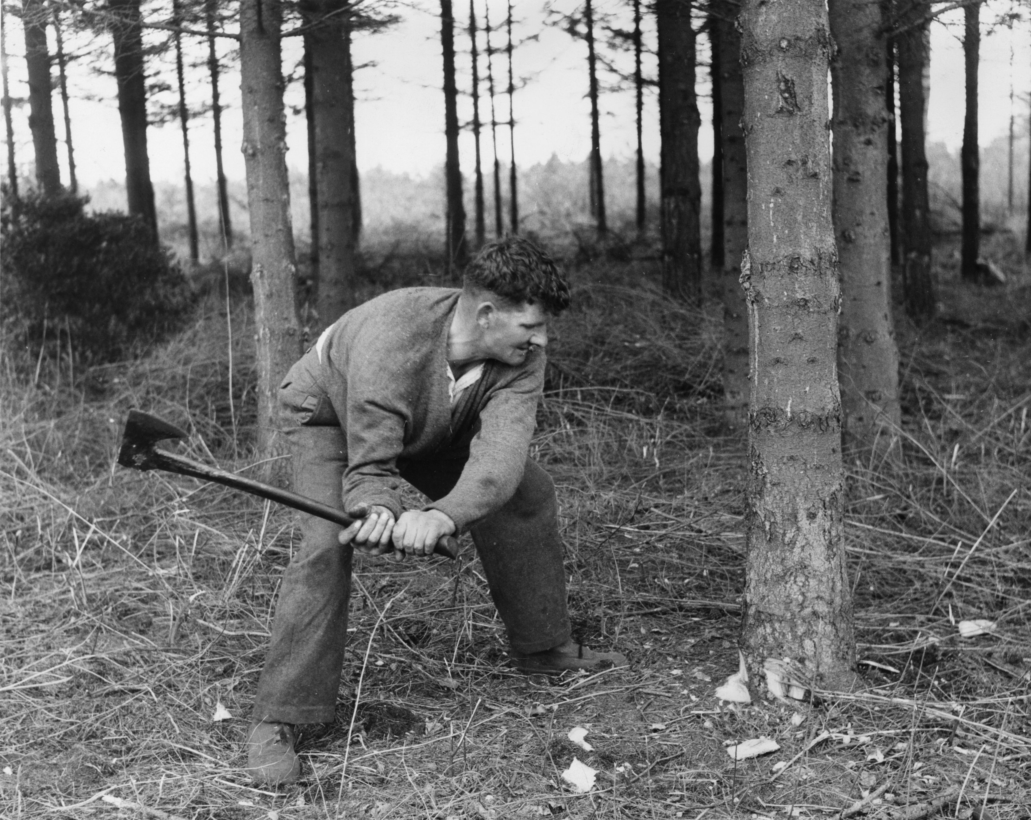 A man cuts down a tree in the forest