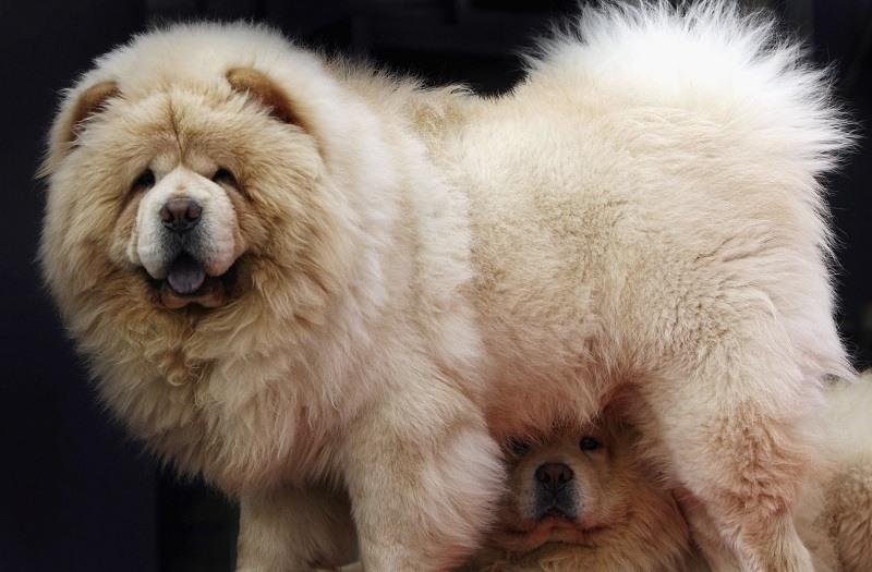 A chow dog