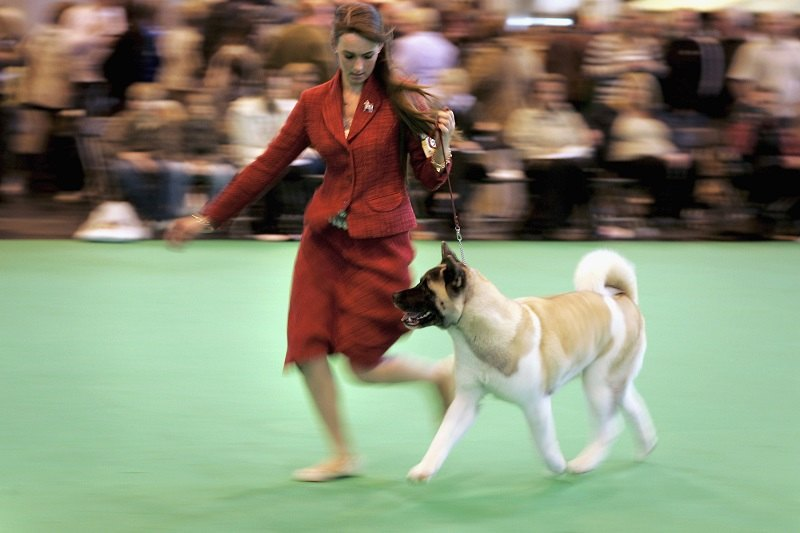 An Akita is paraded in front of the judge during Crufts International Dog Show