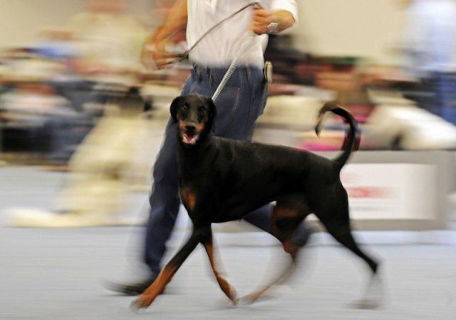 Doberman pinscher walks on a leash