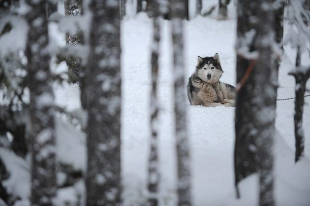 Alaskan malamute in snow