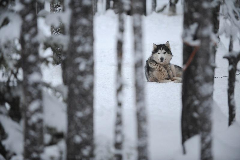 Alaskan malamute rests