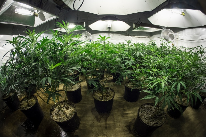 Marijuana plants grow indoors