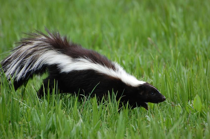 skunk in green grass