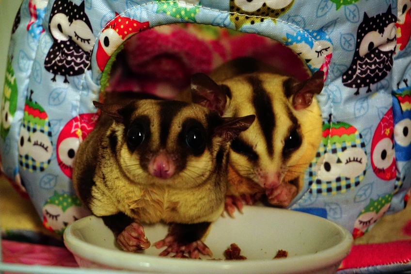Two sugar gliders eating from a dish