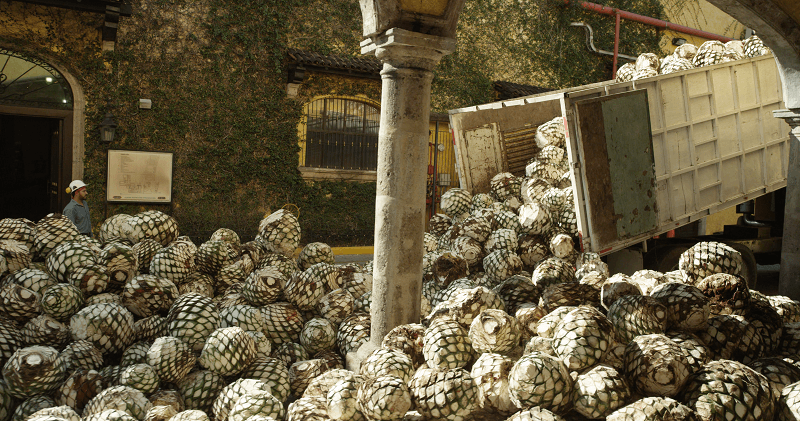 agave at Jose Cuervo plant