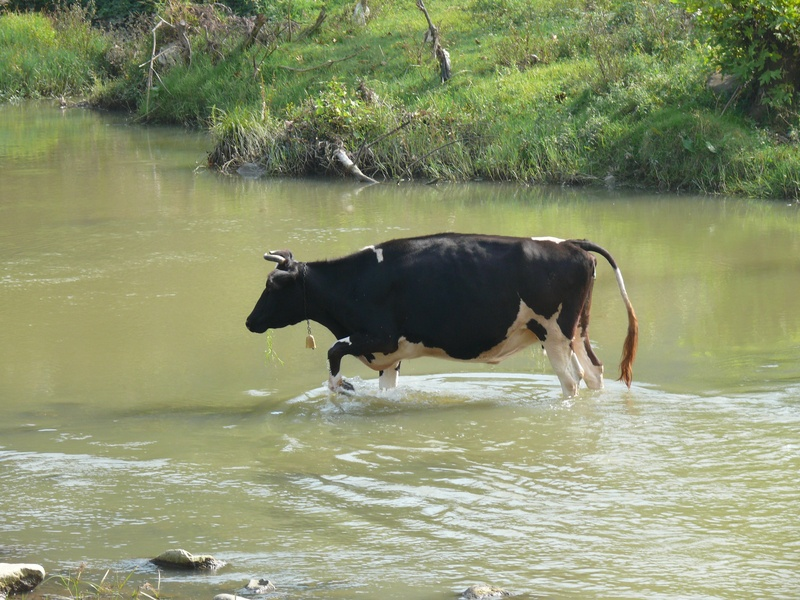 cattle grazing in water