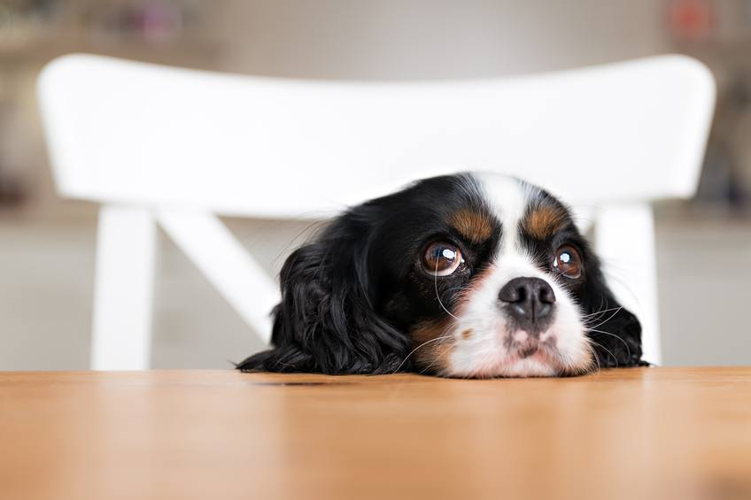 cute dog on a table, avoid bad foods for dogs