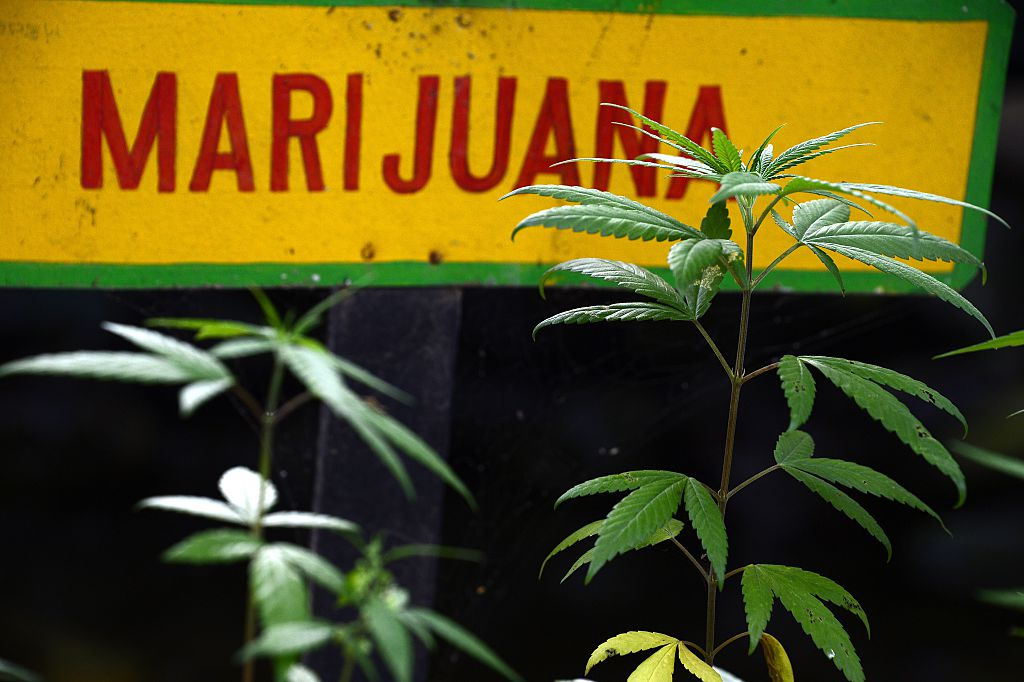 Marijuana plants grow on the grounds of the Bob Marley Museum in Kingston, Jamaica
