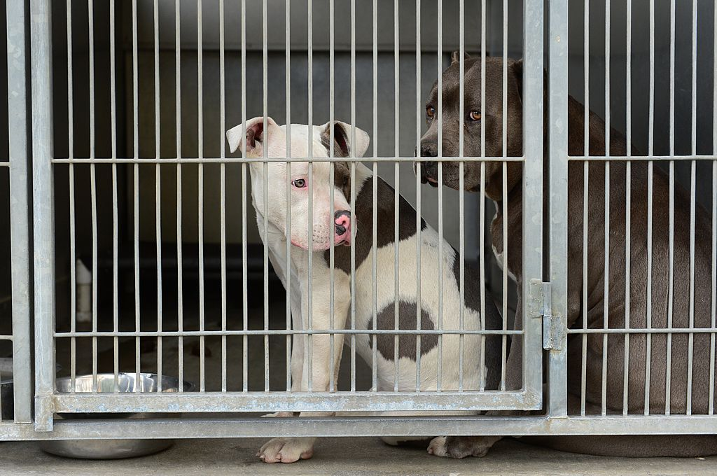 pit bulls at animal shelter