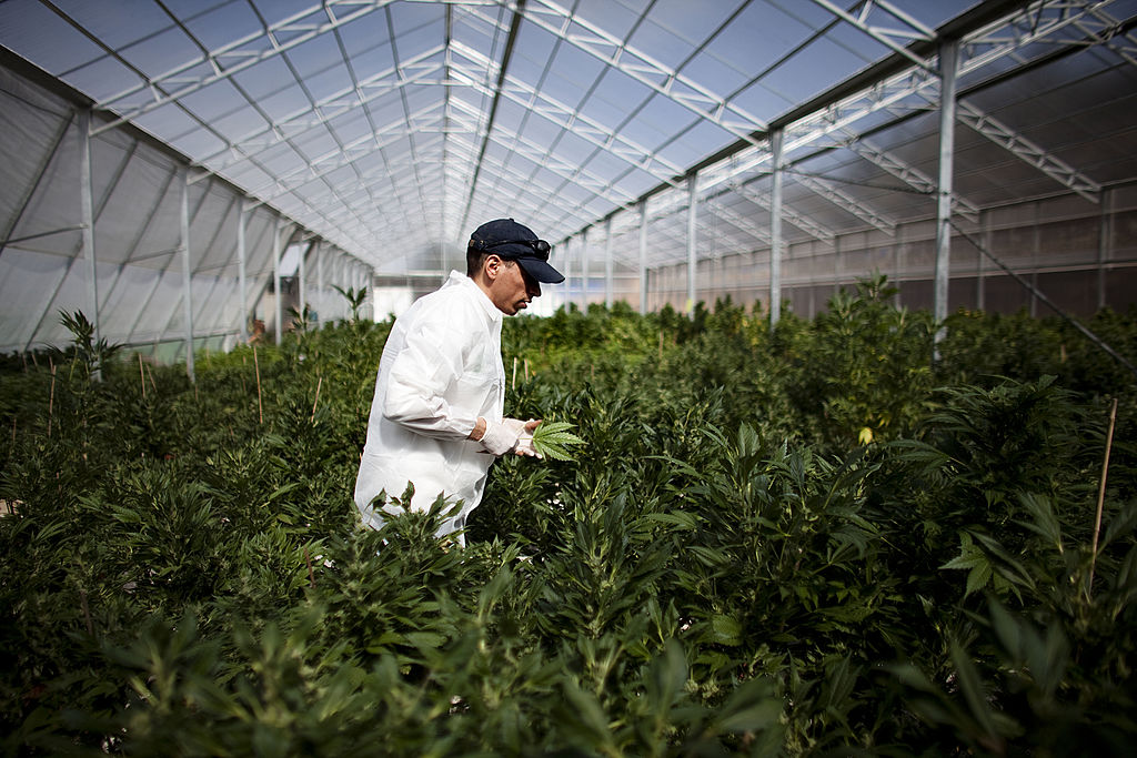 A worker at a cannabis greenhouse and processing facility