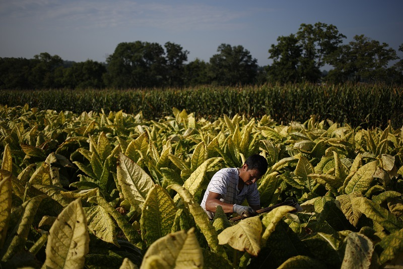 A farm worker harvests tobacco