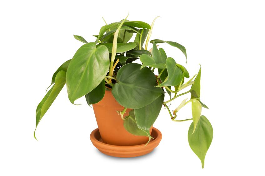 Philodendron plant in clay pot