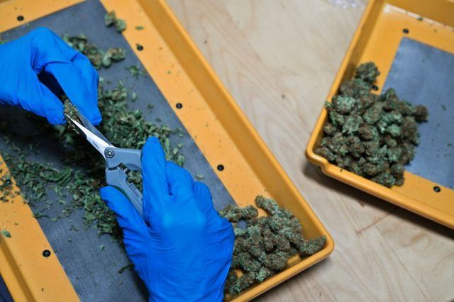 A person cutting up marijuana leaves into trays while wearing gloves.