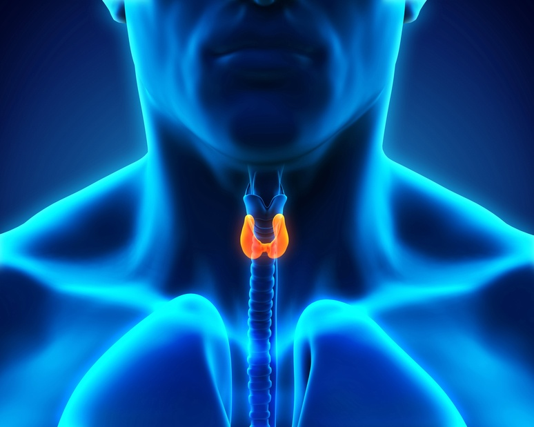 Human Thyroid Gland Illustration