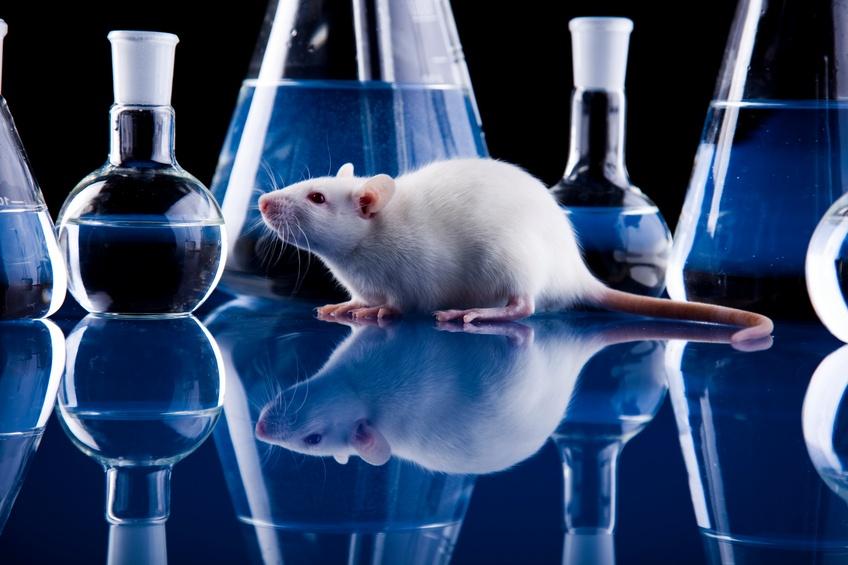 Rat among laboratory glasses