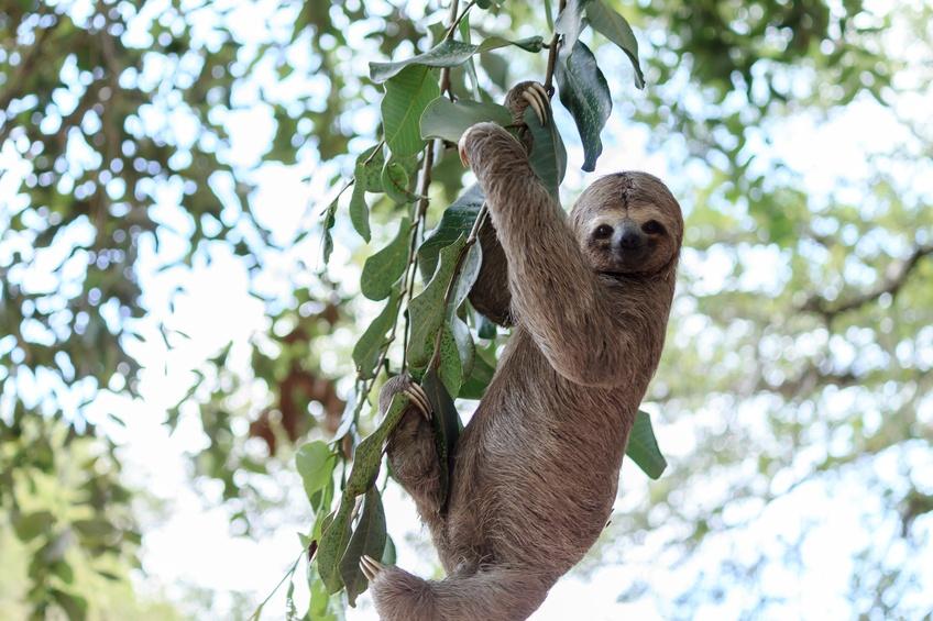 Sloth climbing tree