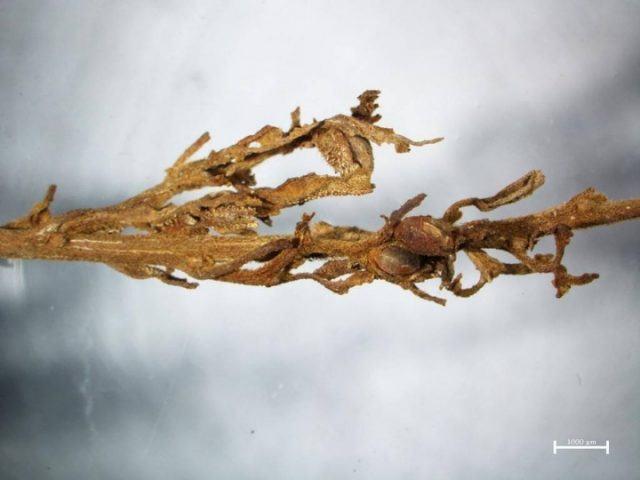 prehistoric-weed-3-1024x768
