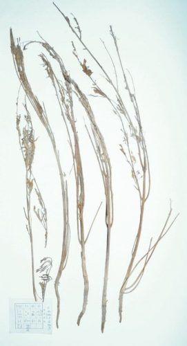 prehistoric-weed-4-555x1024