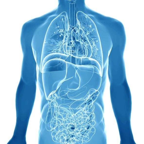 3D render depicting the internal organs