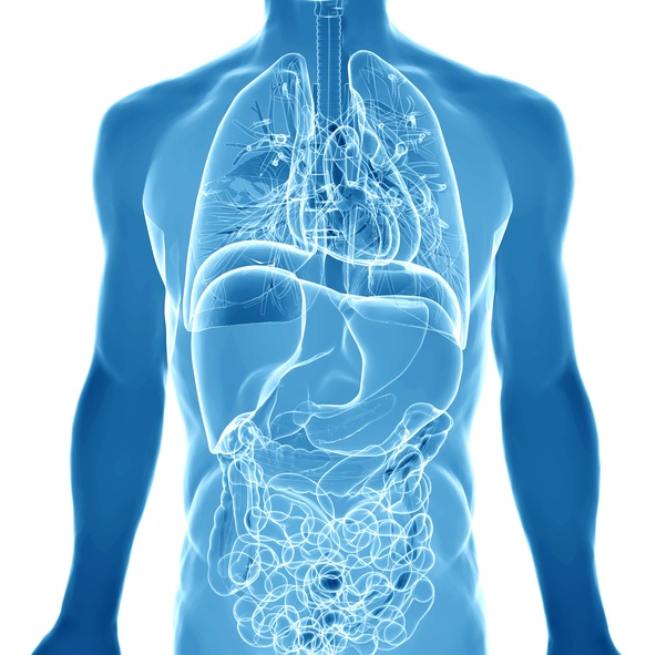 3D render depicting the internal organs