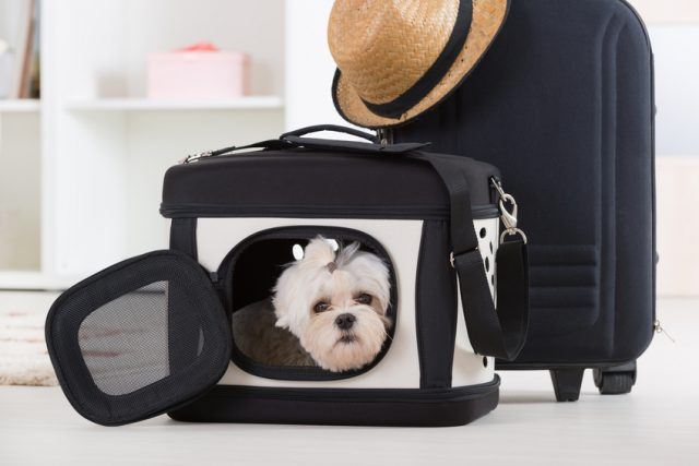 Small dog maltese sitting in his transporter