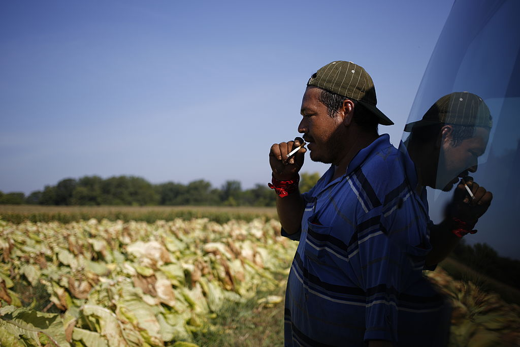 A worker smokes a cigarette after harvesting a field of tobacco in Kentucky