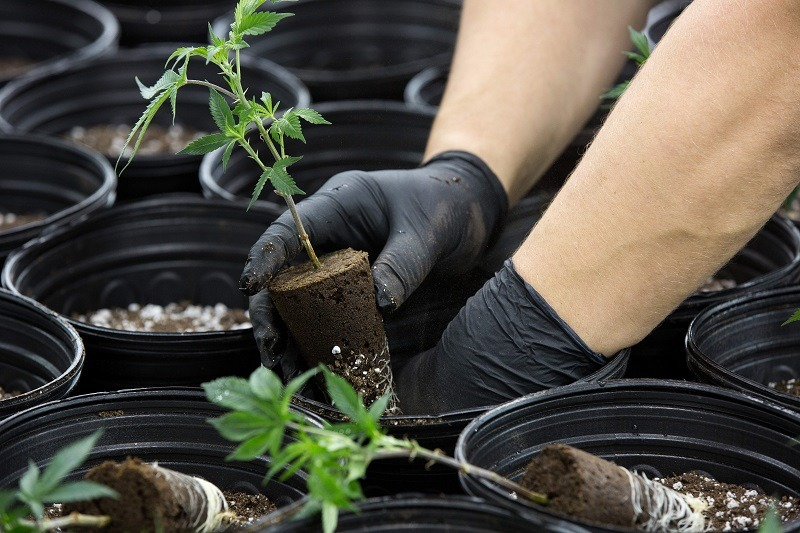 A greenhouse employee plants small seedlings of marijuana plants inside a Mother Room