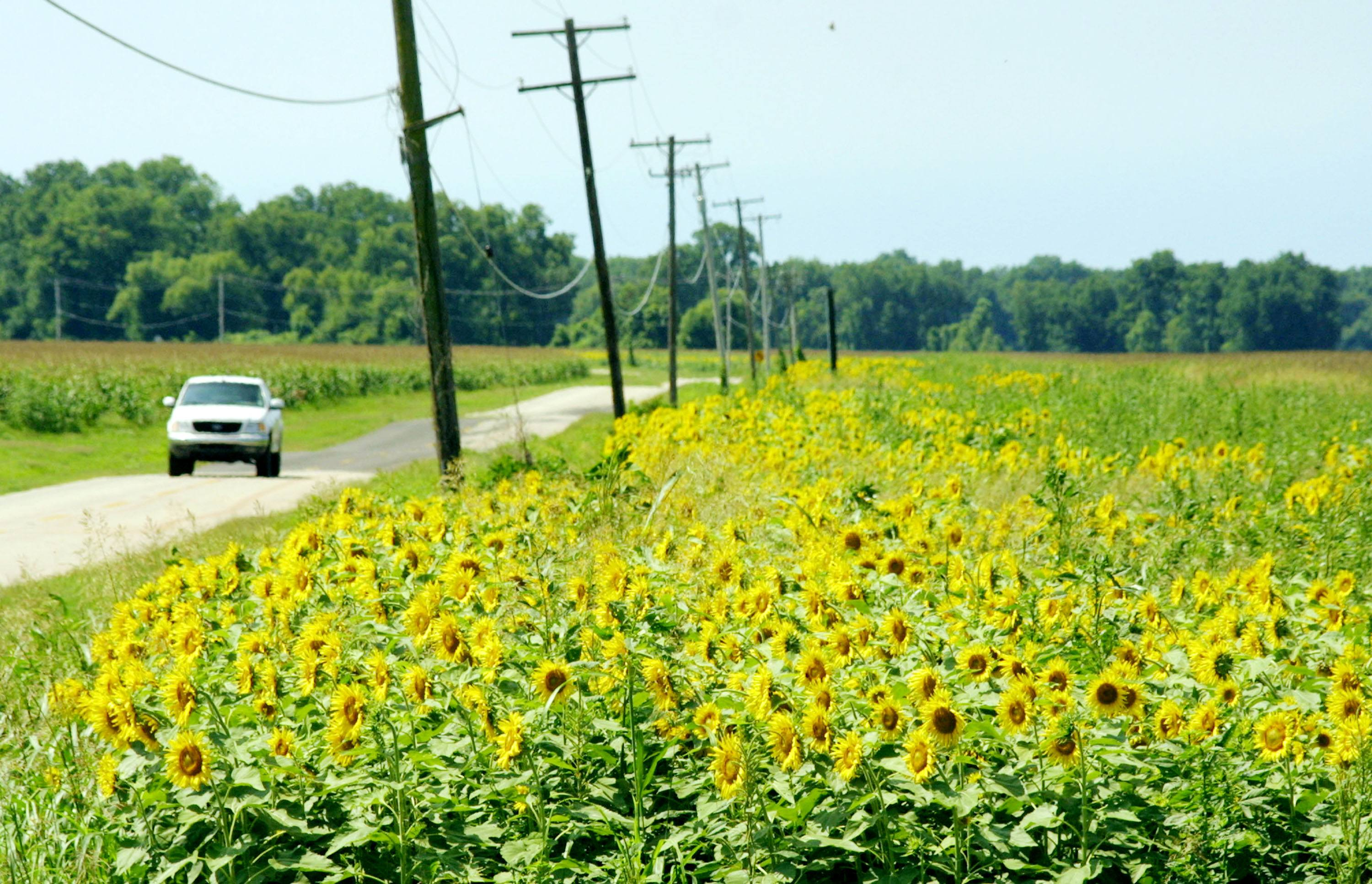 Thousands of sunflowers line a country road north of Shreveport, Louisiana