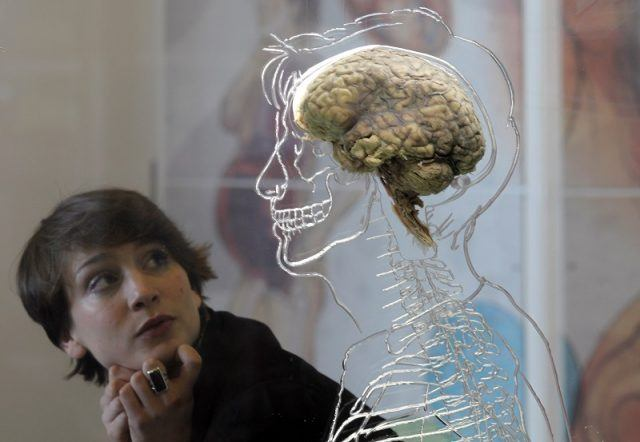 woman looking at a human brain in a mannequin