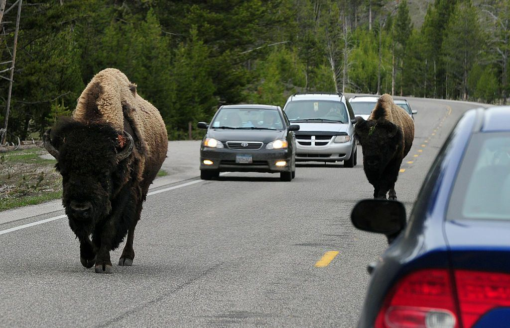 Buffalo on the road in Wyoming