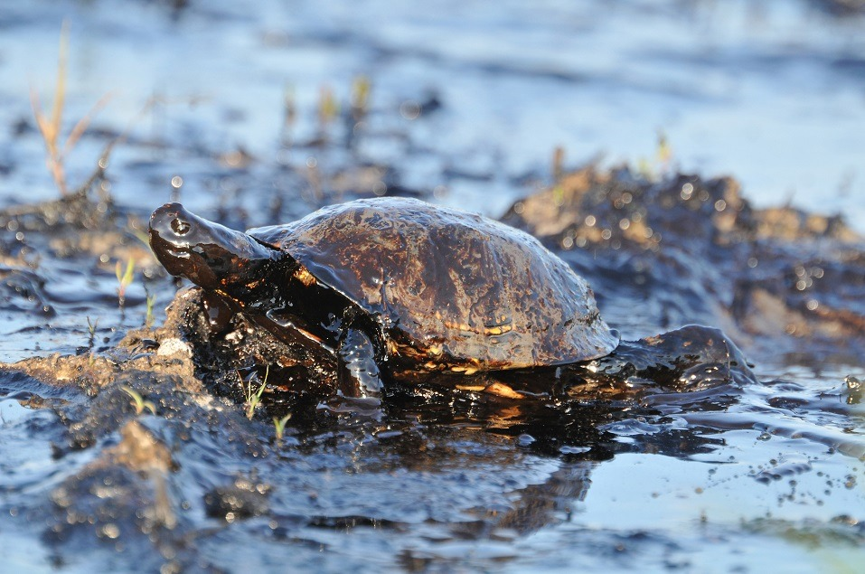 Turtle with petroleum