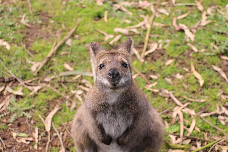 Wallaby on Kangaroo Island