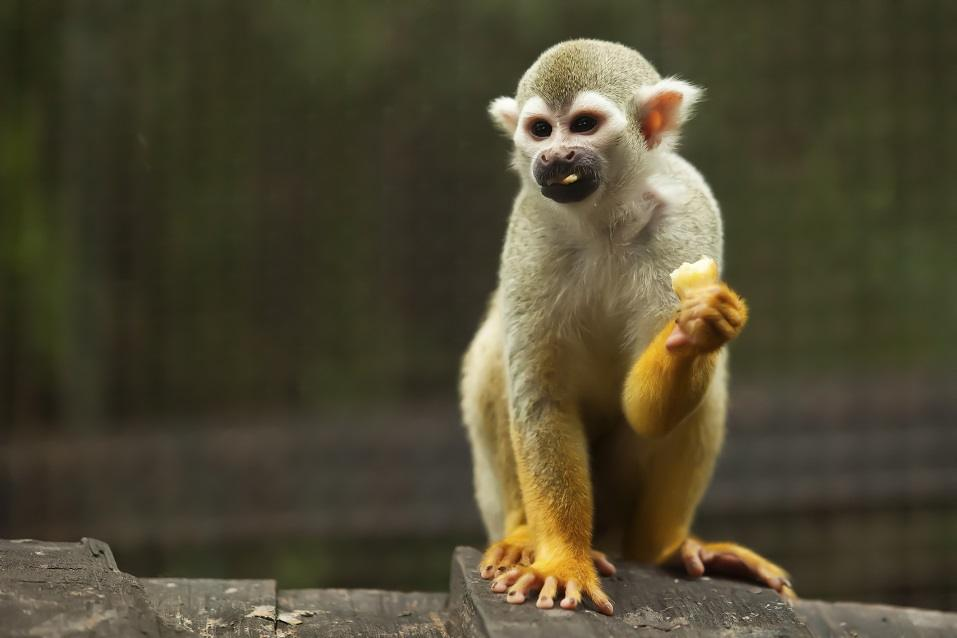 Squirrel monkey in a forest