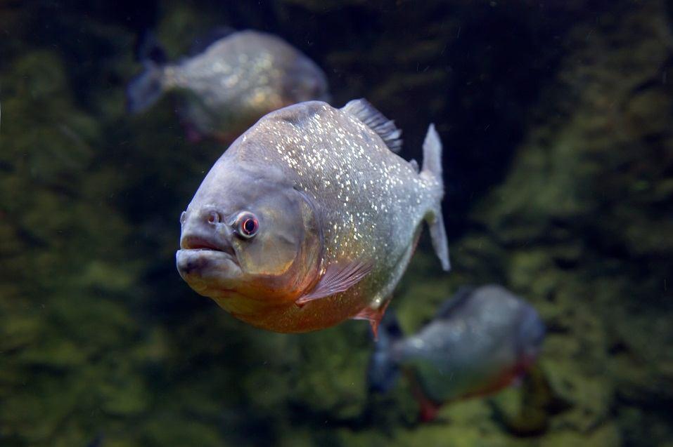 Adult Piranha