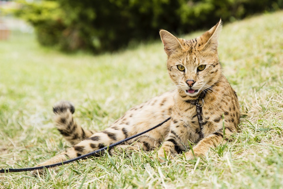 savannah cat on rope in green grass