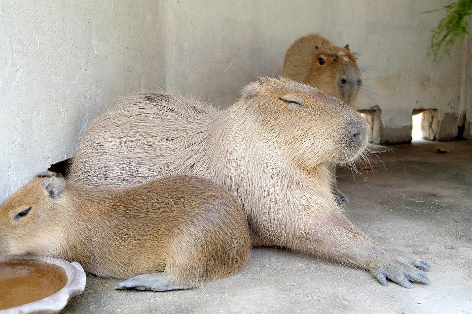capybara family lying on the floor