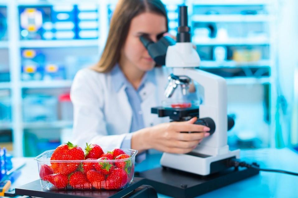 scientist checks strawberries under microscope