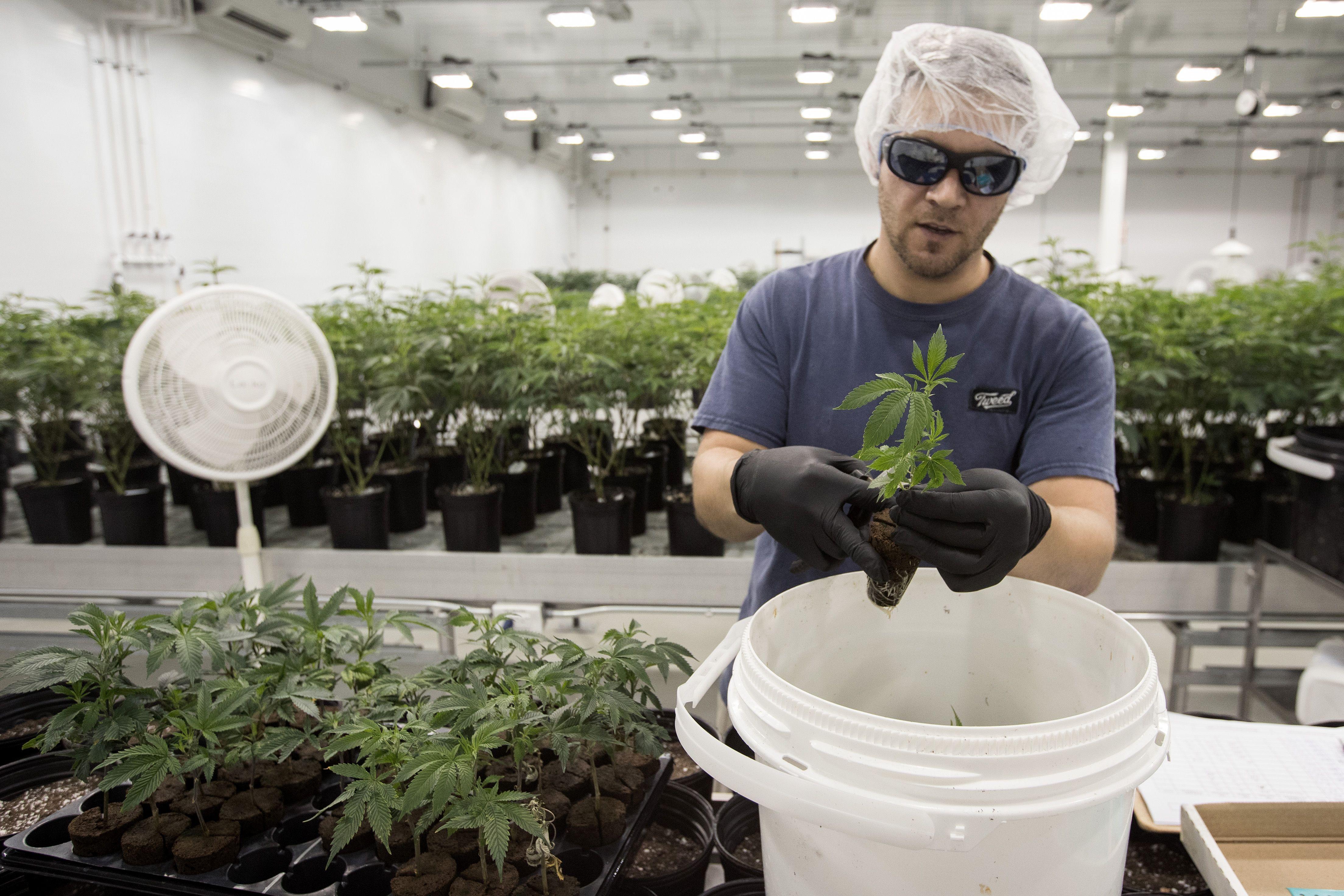 A man trims marijuana plants in a production facility