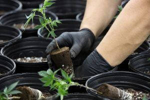 Legal Marijuana: How Much Money is It Really Bringing in?