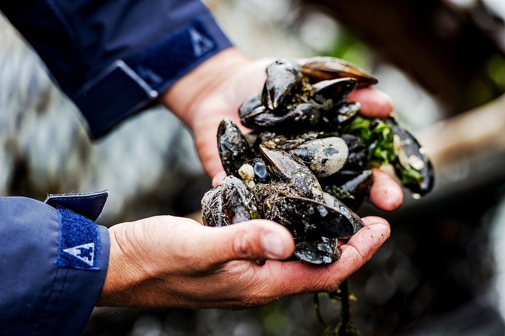 harvesting mussels