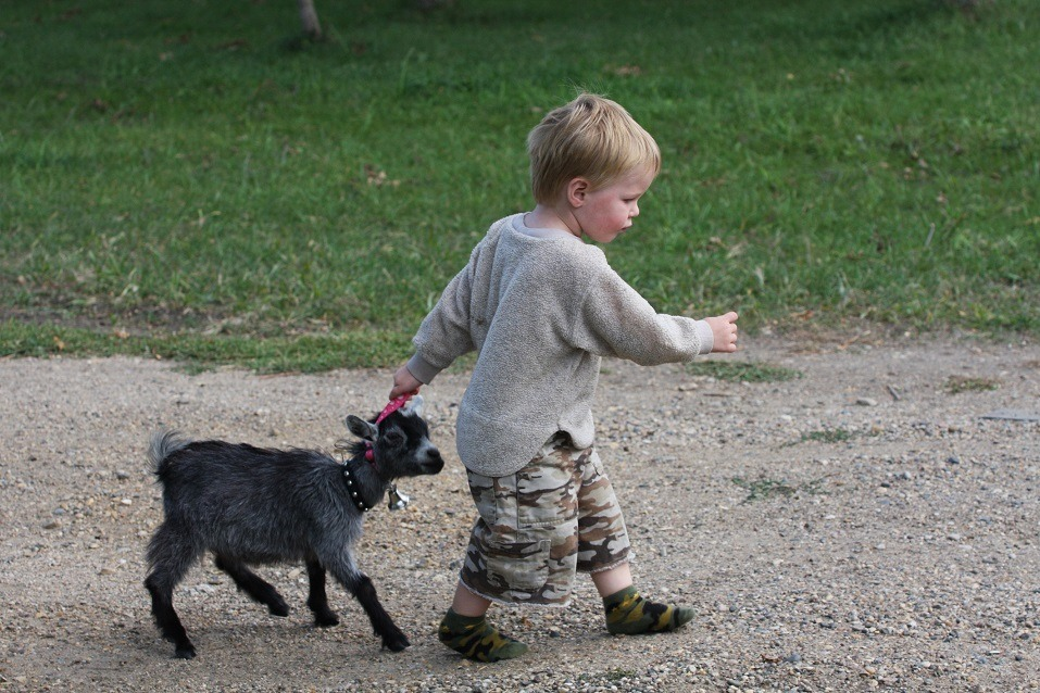 Boy pulling along young pygmy goat