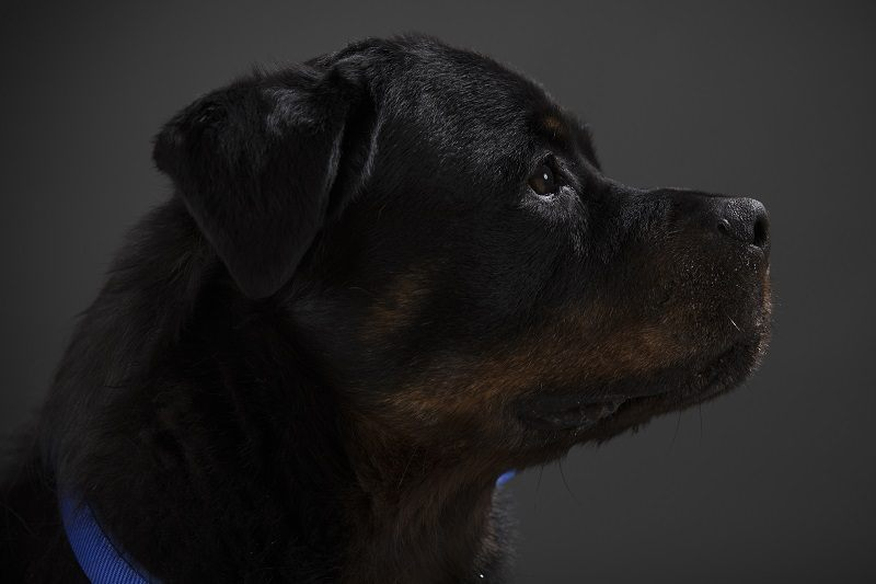A portrait of a rottweiler | Dan Kitwood/Getty Images