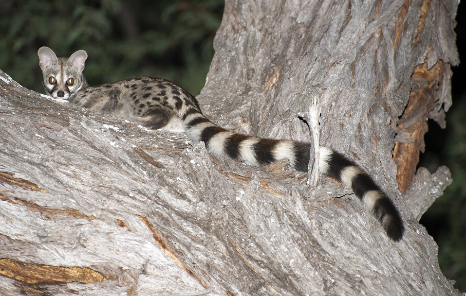 large spotted genet at night