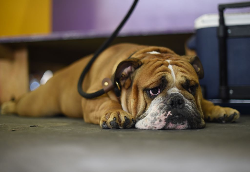 A bulldog lies on the floor and waits to compete